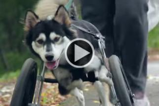 Cão tem movimentos melhorados após receber próteses 3D