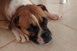 Como reagir a um envenenamento no cão?