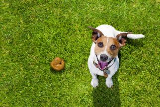 Coprofagia: o cão comendo cocô