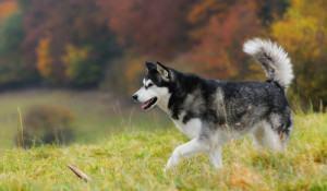 dez-racas-caninas-que-mais-se-parecem-com-lobos