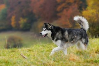 10 raças caninas que mais se parecem com lobos