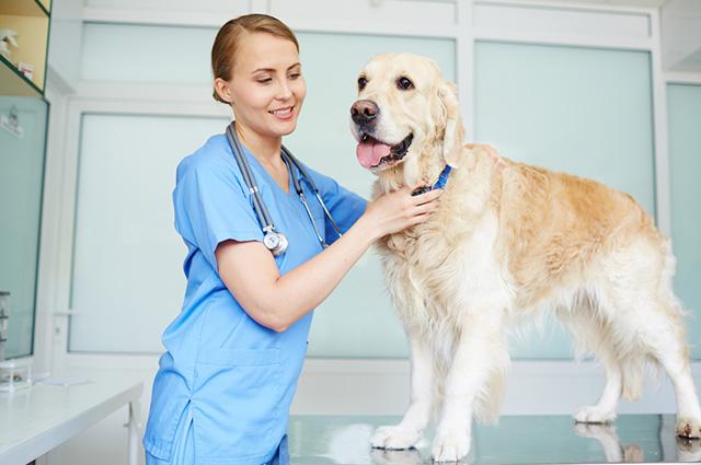 Veterinária examinando cachorro