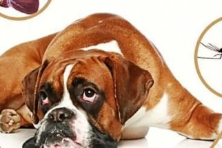 Dirofilariose atinge cães no litoral do Nordeste