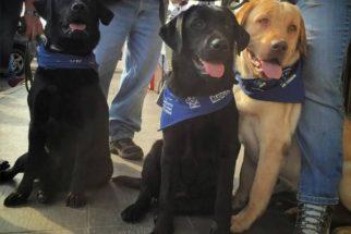 ONG cria campanha para continuar treinamento de cães-guia