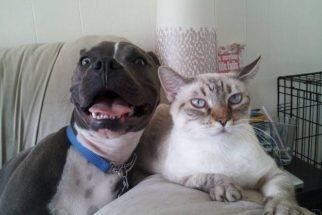 10 vezes que pit bulls provaram ser bons amigos