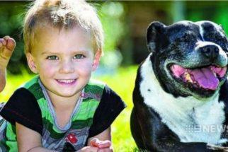 Pit bull salva de afogamento criança de dois anos