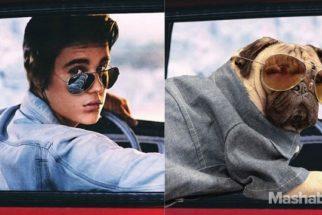 Conheça Doug, o pug que se 'transformou' no Justin Bieber