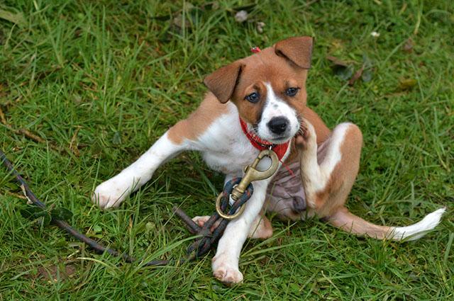 Cachorro se coçando na grama