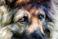 Remela nos olhos do cachorro: o que pode ser e como tratar?