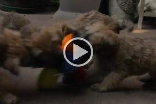 Vídeo: Filhotes da raça terrier brincam juntos em um clima de muita fofura