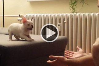 Vídeo: filhotinho pulando nos braços do dono é pura fofura!