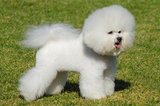 Cachorro da raça bichon frisé