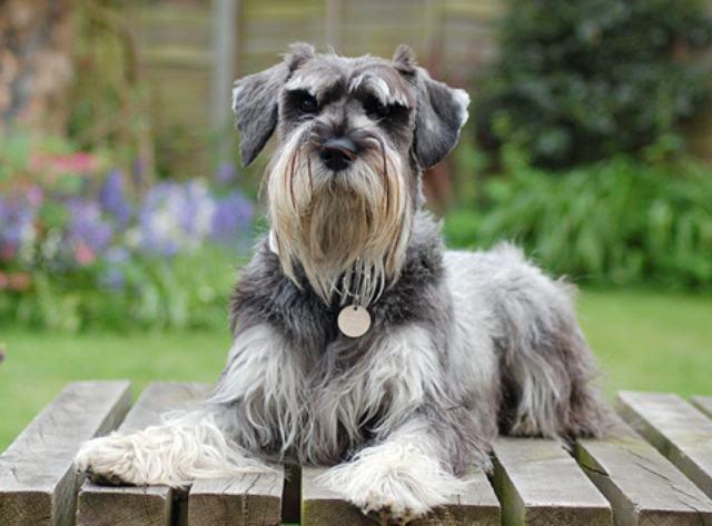 Cachorro da raça Schnauzer miniatura