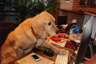 14 cães que adoram acompanhar seus tutores para o trabalho