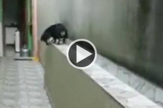 Cãozinho anda de 'marcha a ré' pra descer de muro com segurança