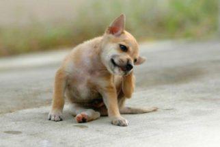 Caspa em cães: como tratar este problema