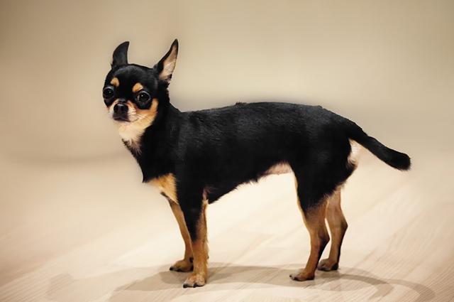 Cachorro da raça chihuahua