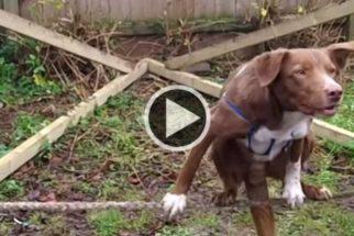 Conheça Ozzy, o cãozinho acrobata que se equilibra em corda bamba