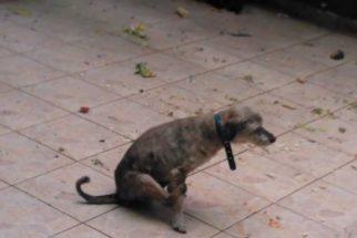 Descubra por que alguns cachorros esfregam o bumbum no chão