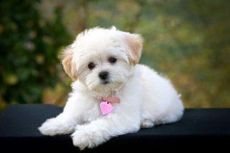 Fotos de filhotes de poodle