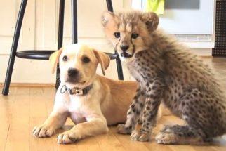 É contagiante a amizade entre cãozinho e guepardo