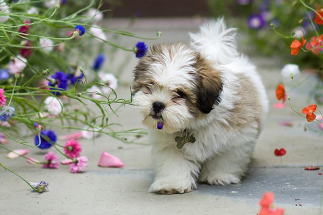 Cachorro da raça lhasa apso