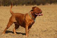 Nomes para raças de cachorros grandes