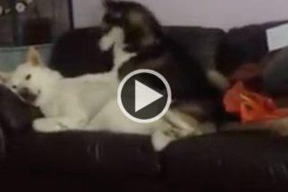 Para rir: cão husky tenta dormir, mas parceira insiste em brincar