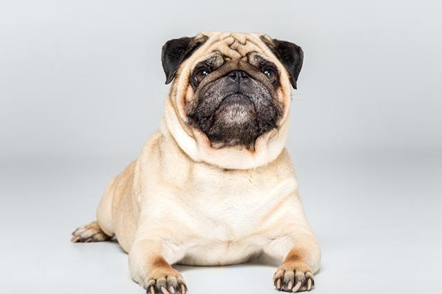 Cachorro da raça pug