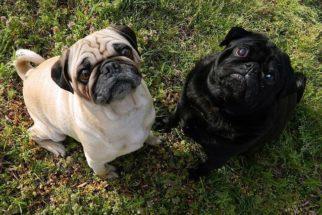 Saúde dos pugs: doenças e cuidados básicos