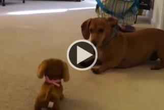 Fofura: cadela dachshund tenta brincar com cãozinho de brinquedo
