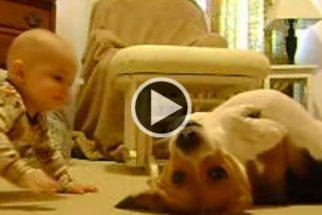 Vídeo: Cão beagle demonstra fofura ao conhecer bebê