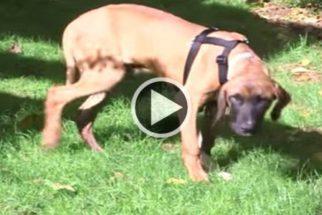 Vídeo emocionante mostra cão andando na grama pela primeira vez