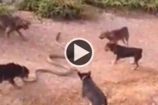 Vídeo registra cães em ataque feroz a cobra gigante