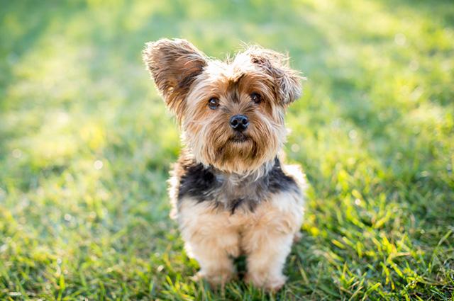 Cachorro da raça Yorkshire Terrier