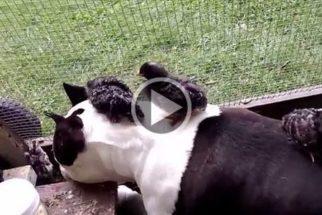 Amizade inusitada: pitbull fica amigo de filhotes de peru
