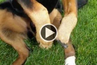 Cachorro volta a andar graças a prótese inovadora