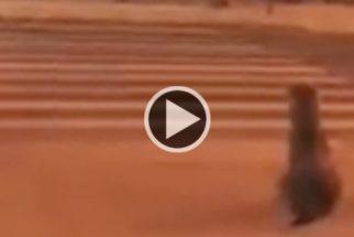 Cão dá exemplo e atravessa a rua na faixa de pedestres
