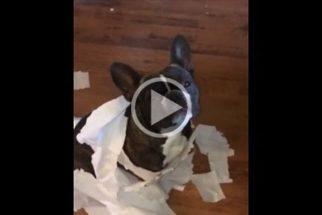 Cão dedura seu amigo canino sobre quem espalhou papel em casa