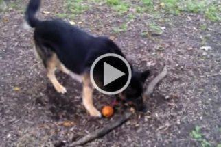 Cão tenta arrancar raiz e fica indignado ao não conseguir