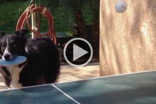 Cãozinho dá show jogando pingue-pongue