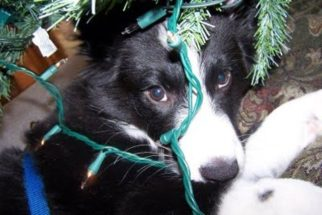 Como lidar em casos de choque elétrico em cães?