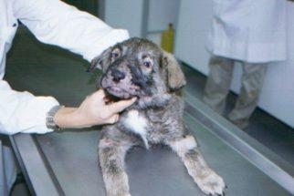 Como tratar em cães a celulite juvenil?