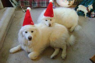 18 cãezinhos que já entraram no clima do Natal