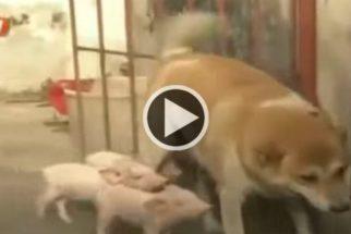 Emocionante: cadela perde filhotes e adota leitões