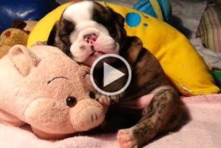 Fofura: filhote de bulldog inglês ronca enquanto tira soneca