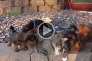 Fofura: filhotes de cães 'enchem' gato de carinho