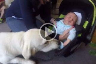 Golden retrivier não contém felicidade ao ver bebê pela 1ª vez