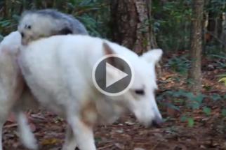 Inspirador: cadelinha adota e cria filhote de gambá órfão