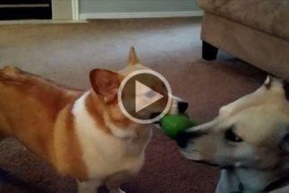 Labrador esperto cria solução para lidar com corgi egoísta